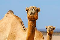 dromedary, or Arabian camel, Camelus dromedarius, Lake Abbe or Lake Abhe Bad, Djibouti, Horn of Africa