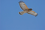 red-shouldered hawk, Buteo lineatus.
