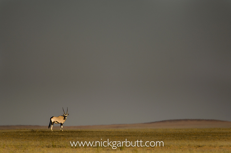 Gemsbok or Southern Oryx (Oryx gazella) in late afternoon sunlight with stormy sky behind. Skeleton Coast, Namibia.