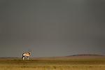 Gemsbok or Southern Oryx (Oryx gazella) in late afternoon sunlight with stormy sky behind. Skeleton Coast, Namibia.