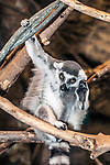 ring-tailed lemur sitting in tree, vertical