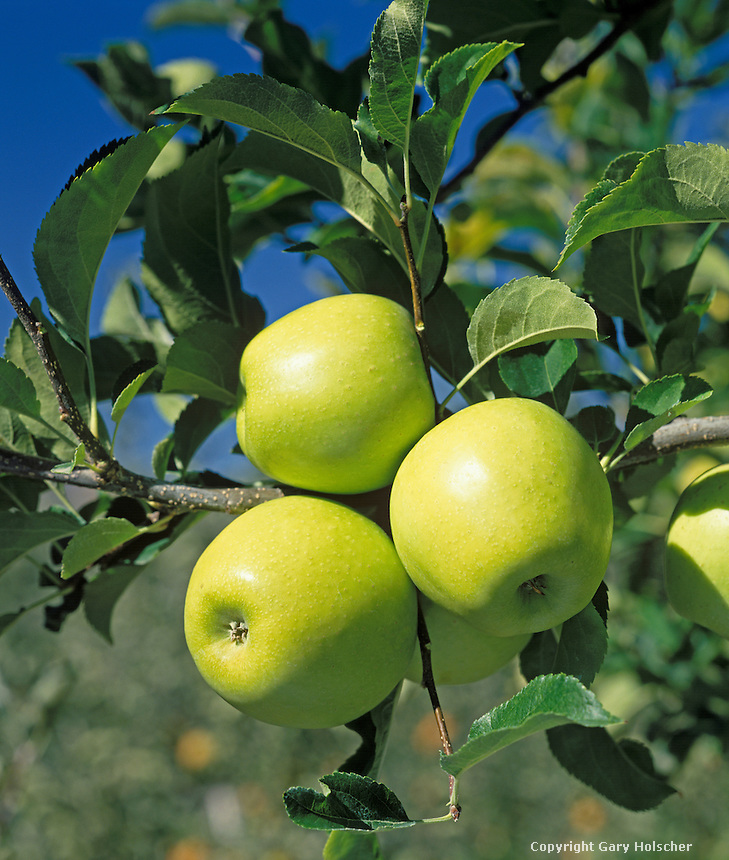 Golden delicious apples on tree. WA