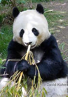 0502-1008  Female Giant Panda Eating Bamboo at San Diego Zoo, Ailuropoda melanoleuca  © David Kuhn/Dwight Kuhn Photography.