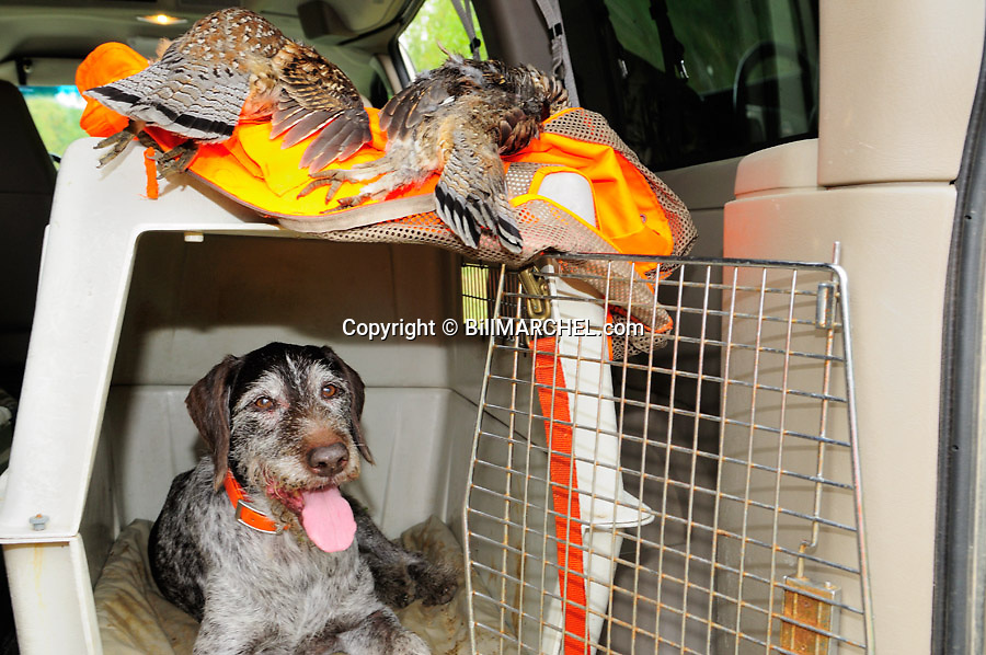 00279-022.04 Deutshc Drahthaar is in dog crate kennel with two bagged ruffed grouse on top.  Dog is old, gray face.