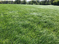 Photo: Richard Lane/Richard Lane Photography. A stand of perennial rye grass in spring that will be made into 1st cut grass silage. 22/04/2020.