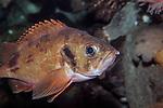Acadian Redfish swimming right medium shot
