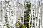 White birches in Acadia National Park, Maine, USA