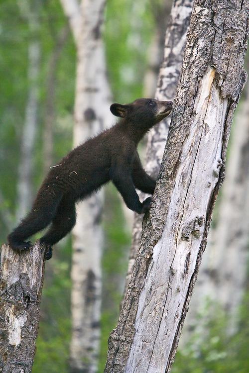 Black Bear cub standing on a snag to lean against a tree