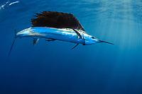 Sailfish, Istiophorus albicans, or Istiophorus platypterus, Florida coast, USA, Atlantic Oceans