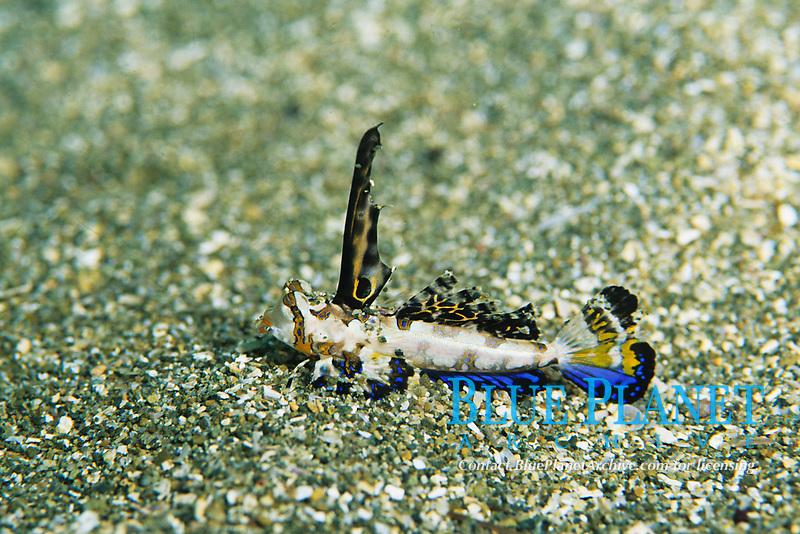 Fingered dragonet , Dactylopus dactylopus, Arari, Suruga bay, Izu peninsula, Shizuoka, Japan, Pacific Ocean