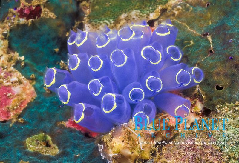 A colony of tunicates, Rhopalaea sp., Mergui Archipelago, Andaman Sea, Myanmar