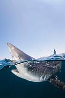 Blue Shark, Prionace glauca, Rhode Island, New England, USA, North Atlantic Ocean