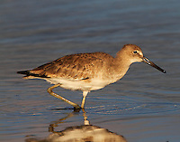 Adult willet in nonbreeding plumage, Oct 3