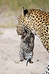 Leopard cub left in camp toilet while mum hunts by Suzi Eszterhas /Minden Pictures
