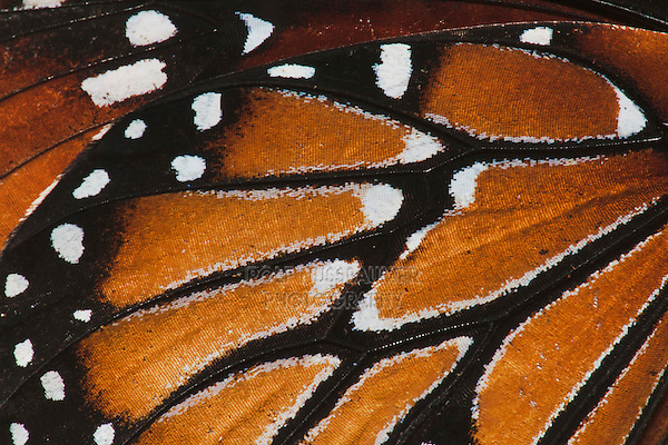 Queen Butterfly (Danaus gilippus), wing close up, Sinton, Coastel Bend, Texas, USA