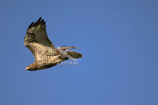 Immature Red-tailed Hawk (Buteo jamiacensis) in flight.  Pacific Northwest.  Winter.