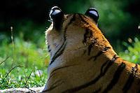 Siberian Tiger (Panthera tigris)