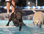 Lady and Gauge play at the second annual Pooch Plunge at the Carson City Aquatic Center in Carson City, Nev., on Saturday, Sept. 18, 2010..Photo by Cathleen Allison
