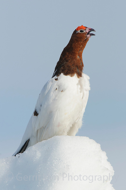 Adult male Willow Ptarmigan (Lagopus lagopus) vocalizing in spring. Males retain the white body plumage of winter plumage and molt the head and neck feathers to the russet brown summer plumage during the spring courtship period. Seward Peninsula, Alaska. May.