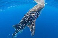 whale shark, Rhincodon typus, with injury possibly from a boat's propellor, Honda Bay, Palawan, Philippines, Sulu Sea, Pacific Ocean