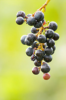 A Mourvedre grape bunch in the vineyard. Left over from the harvest. Chateau Mourgues du Gres Grès, Costieres de Nimes, Bouches du Rhone, Provence, France, Europe