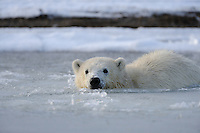 A polar bear cub swims in slush ice along a barrier island outside Kaktovik, Alaska. Every fall, polar bears gather near the community, on the northern edge of ANWR, waiting for the Arctic Ocean to freeze. The bears have become a symbol of global warming.