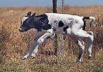 A young calf struggles to get his footing after birth in a field at point Reyes Station West Marin, California.