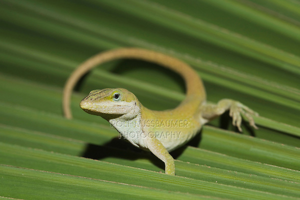 Green Anole (Anolis carolinensis), adult on palm frond, Sinton, Corpus Christi, Coastal Bend, Texas, USA