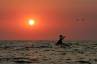 Blue Whale (Balaenoptera musculus) fluke-up dive at sunset in the offshore waters of Santa Monica Bay, California, USA.