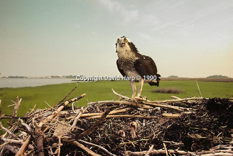 An osprey lands on its nest near Tylerton, on Smith Island, MD.