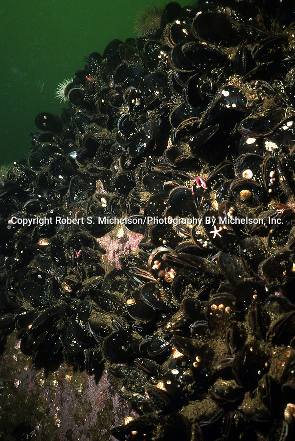 blue mussels, many on vertical rock wall