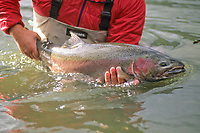 Fly angler cradles a trophy buck steelhead, Oncorynchus mykiss, in northern British Columbia moments before its release
