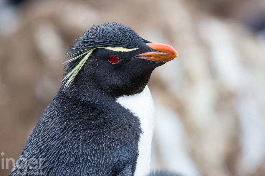 Rockhopper Penguin on West Island, the Falkland Islands