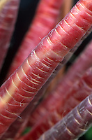 Carrot 'Purple Haze', purplish red carrots, darker unusual color with more vitamin A, picked and harvested, ready to eat