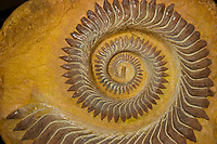 whorl tooth shark, Helicoprion bessonowi, tooth whorl fossil, 300 to 250 million yeas old - Permian - Carboniferous periods, from Ural Region of Russia