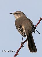 1222-06xx  Northern Mockingbird - Mimus polyglottos © David Kuhn/Dwight Kuhn Photography