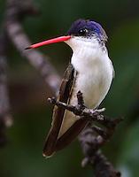 Adult violet-crowned hummingbird