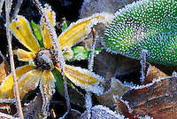 Frost on Black-eyed Susan (Rudbeckia hirta) and leaves. This native biennial species of Black-eyed Susan often are in bloom right up to the first frost. Ohio.