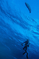 Diver observing a Napoleonfish swimming in the blue waters of the Red Sea, Egypt.
