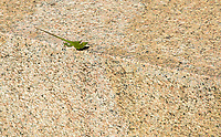A Cuban Green Anole, Anolis porcatus, on the base of a monument in Camagüey, Cuba