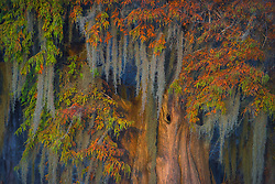 The last light of day illuminates the fall color on this mossy bald cypress in the Atchafalaya Basin.
