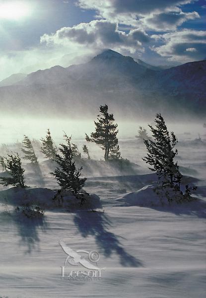 Rocky Mountain Douglas fir trees (Pseudotsuga menziesii) in winter wind storm.  Waterton Lakes National Park, Alberta, Canada.