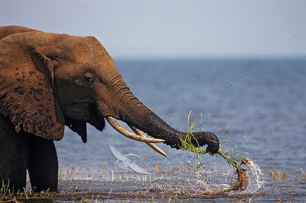African Elephant washing mud off grass before eating. (Loxodonta Africana) Africa.