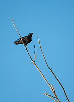 American Crow, Corvus brachyrhynchos, perches on a branch in Sacramento National Wildlife Refuge, California