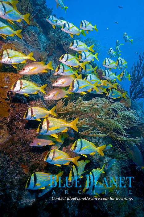 Benwood wreck, Key Largo, porkfish, Anisotremus virginicus