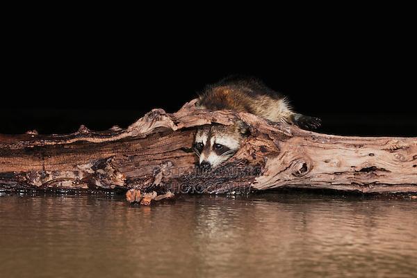 Northern Raccoon (Procyon lotor), adult at night, Sinton, Corpus Christi, Coastal Bend, Texas, USA