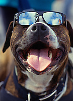 Cool dog with sunglasses.