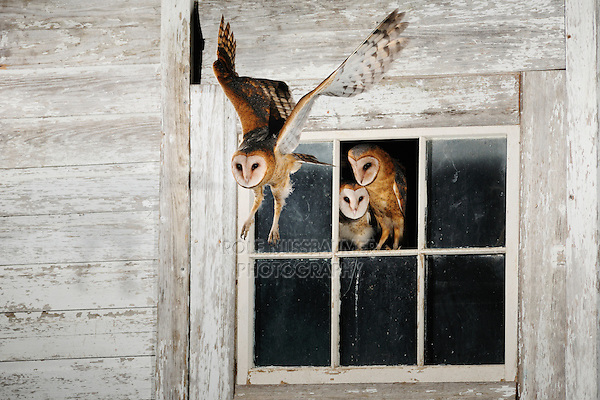 Barn Owl (Tyto alba), young leaving nesting site in abandoned building, Dinero, Lake Corpus Christi, South Texas, USA