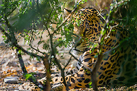 Jaguar (Panthera onca).  This jaguar was photographed in the desert Southwest (captive) where a few range north from the Mexican desert into southern Arizona--quite a different habitat from the more typical South American jungle.
