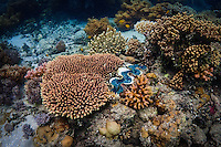 A Giant Clam nestled within the corals of the Great Barrier Reef, Australia